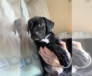 American Staffordshire Terrier Puppy for sale in WARWICK, RI, USA