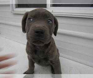 Cane Corso Puppy for sale in CADILLAC, MI, USA