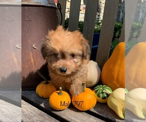 Pembroke Welsh Corgi-Poodle (Toy) Mix Puppy for sale in CLARE, IL, USA