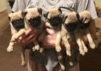 Pug Puppy For Sale in SAN ANTONIO, Texas,