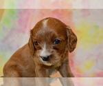 Puppy 5 Cavapoo