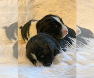 Newfoundland Puppy for Sale in DALE, Indiana USA