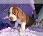 Small #10 Beagle