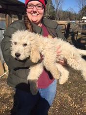 Pyredoodle Puppy For Sale in LIBERTY, MS, USA