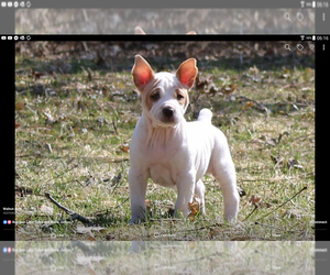 Rat Terrier Puppy for Sale in FAIRPORT, New York USA