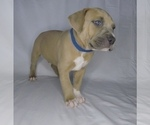 Puppy 2 American Pit Bull Terrier-American Staffordshire Terrier Mix