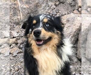 Father of the Miniature Australian Shepherd puppies born on 07/26/2019