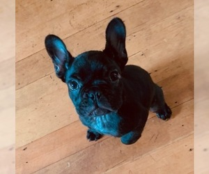 French Bulldog Puppy for Sale in MARCOLA, Oregon USA