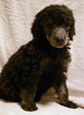 Poodle (Standard) Puppy For Sale in RAMONA, CA, USA