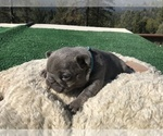 Small #38 French Bulldog