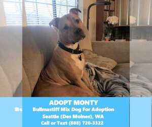 American Staffordshire Terrier-Mastiff Mix Dog for Adoption in DES MOINES, Washington USA