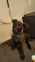 Dutch Shepherd Dog Puppy For Sale in ALAMEDA, CA