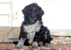 Portuguese Water Dog Puppy For Sale in MOUNT JOY, PA, USA