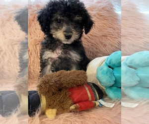 YorkiePoo Puppy for sale in SANTA MONICA, CA, USA