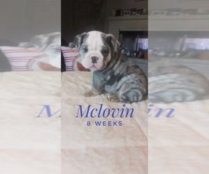 Bulldog Puppy for Sale in GLENDALE, Arizona USA