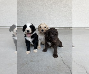 Bernedoodle Dog for Adoption in GILBERT, Arizona USA