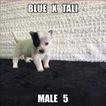 Australian Cattle Dog Puppy For Sale in JEFFERSON, SC, USA