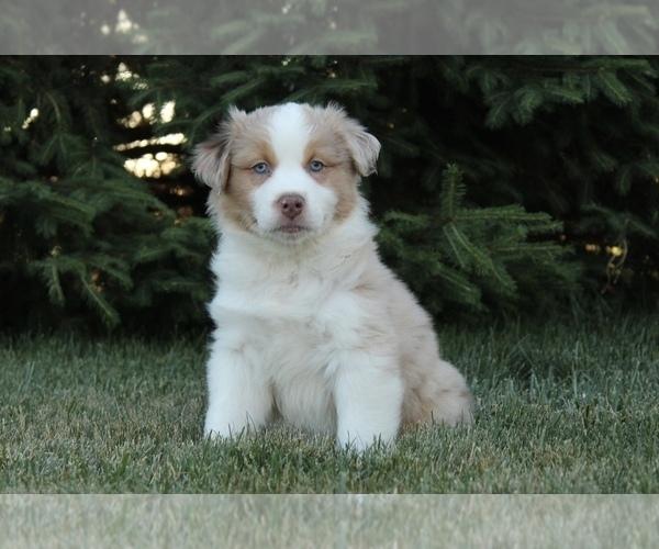 Medium Photo #5 Australian Shepherd Puppy For Sale in CARMEL, IN, USA