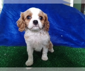 Cavalier King Charles Spaniel Puppy for sale in SCOTTVILLE, MI, USA