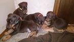 Doberman Pinscher Puppy For Sale in BOGALUSA, LA