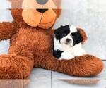 Gabe The Teddy Bear Puppy