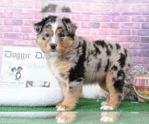 Australian Shepherd Puppy for sale in BEL AIR, MD, USA