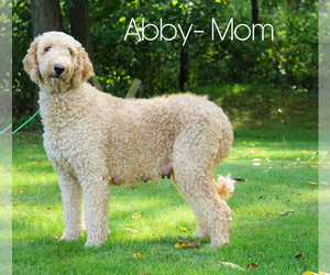 Mother of the Goldendoodle-Poodle (Miniature) Mix puppies born on 02/15/2021