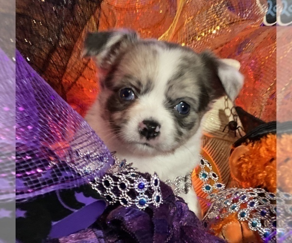Medium Photo #18 Bullhuahua-Chihuahua Mix Puppy For Sale in RAWSONVILLE, MI, USA