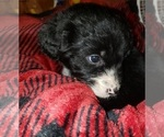 Small Photo #4 Aussiedoodle Puppy For Sale in DERBY, IA, USA
