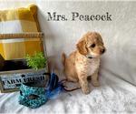 Puppy 6 Goldendoodle-Woodle Mix