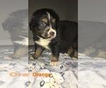 Small Photo #4 Australian Shepherd Puppy For Sale in HAMPTON, VA, USA
