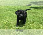 Small Photo #10 Labrador Retriever Puppy For Sale in FRUITPORT, MI, USA