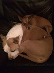 Bennett - Chihuahua / Basenji / Mixed Dog For Adoption