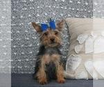 Puppy 3 Miniature Pinscher