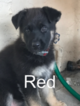 German Shepherd Dog Puppy For Sale in HIALEAH, FL