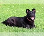 Small #156 Labrador Retriever Mix