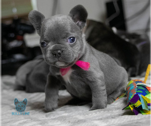 French Bulldog Puppy for Sale in SPOKANE, Washington USA