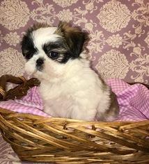 View Ad Shih Tzu Puppy For Sale California Sacramento Usa