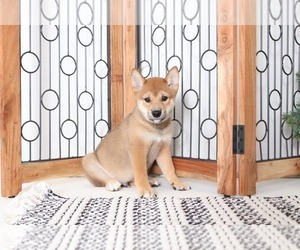 Shiba Inu Dog for Adoption in NAPLES, Florida USA