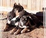 Razor Gotti XL american pit bull puppies