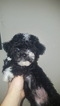 Havanese Puppy For Sale in PLANT CITY, FL
