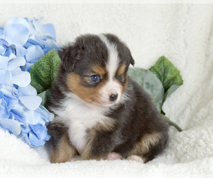 Miniature Australian Shepherd Puppy for sale in LONOKE, AR, USA