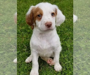 Brittany Puppy for Sale in HARMONY, Pennsylvania USA