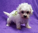 Coton de Tulear Puppy For Sale in BUFFALO, MO, USA