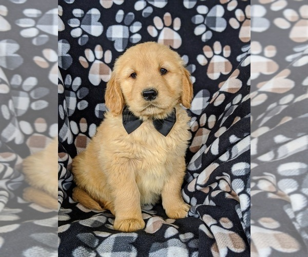 Medium Photo #2 Golden Retriever Puppy For Sale in OXFORD, PA, USA