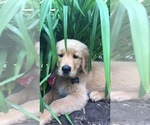 Small Photo #8 Golden Retriever Puppy For Sale in PACE, FL, USA