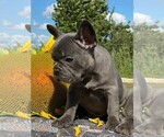 Small Photo #4 French Bulldog Puppy For Sale in JERSEY CITY, NJ, USA