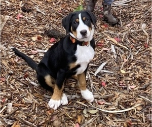 Greater Swiss Mountain Dog Puppy for sale in PORT ORCHARD, WA, USA