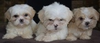 Mal-Shi Puppy For Sale in PLANO, TX, USA