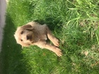 Labradoodle Puppy For Sale in JARRELL, TX, USA